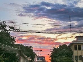 Monkeys on a wire in Phnom Penh