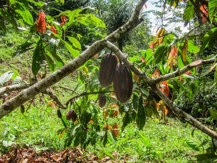 Cacao Plantation Bocas del Toro