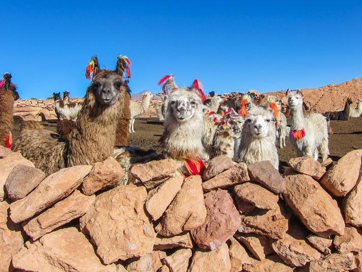 Alpacas in Bolivia