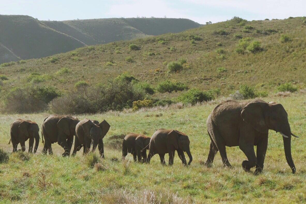 Elephants at Gondwana