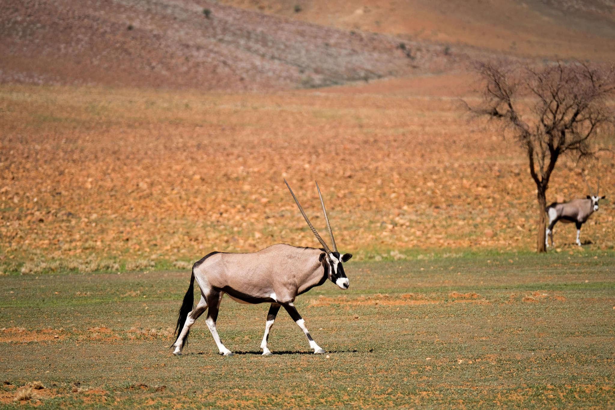 wolwedans dunes lodge game drive antelope