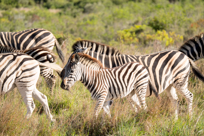 Zebras at Gondwana