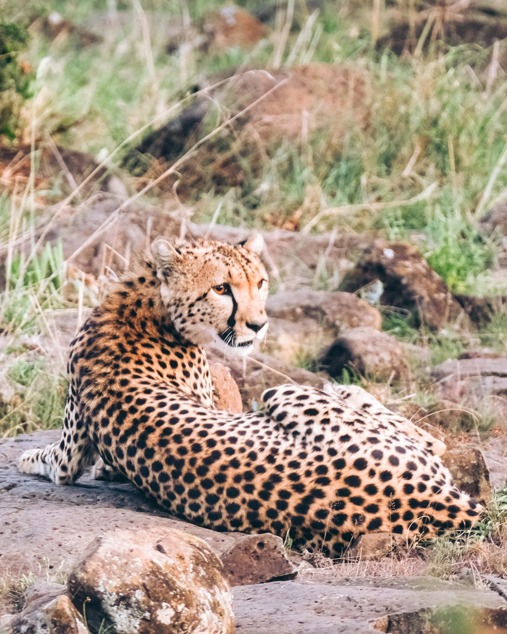 Close up shot of cheetah on safari
