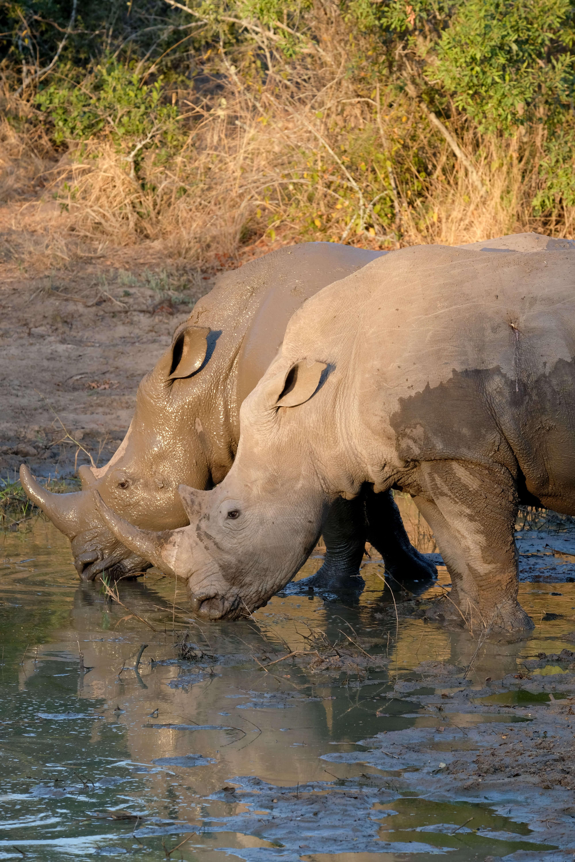 rhinos on safari in kruger national park