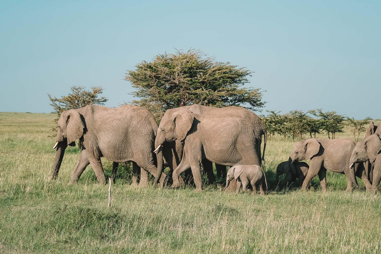 Roaming Elephants Kenya