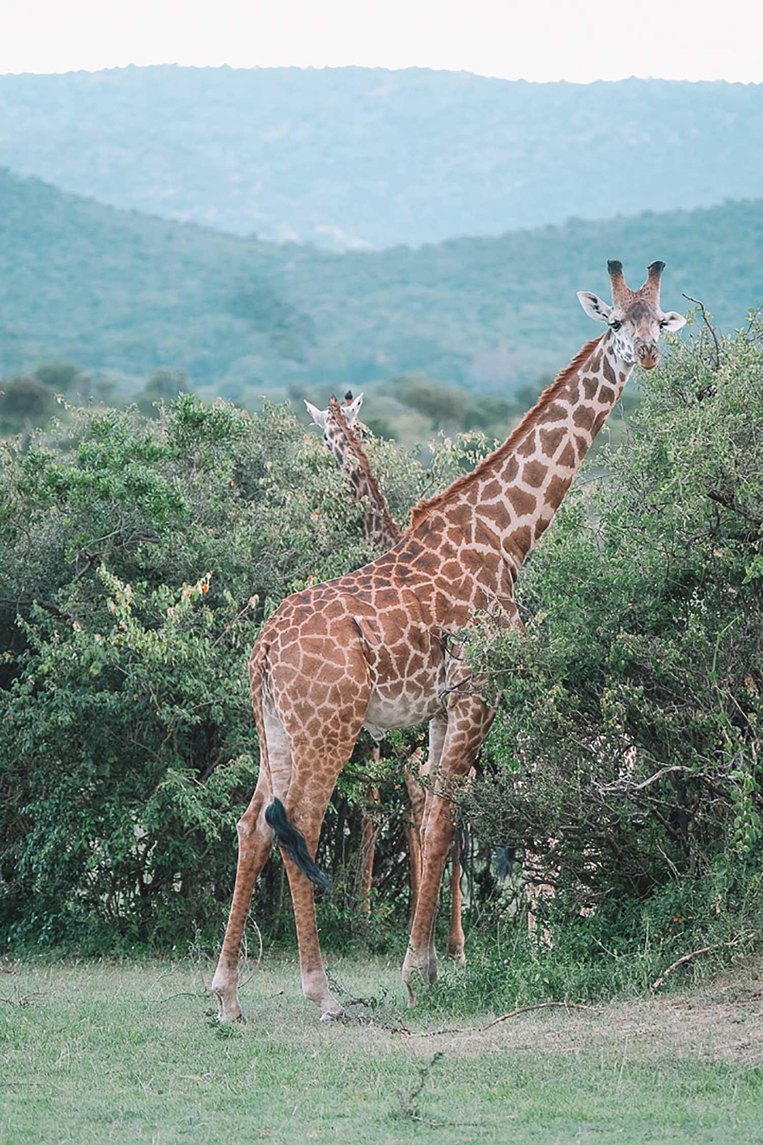 Kenya Giraffes