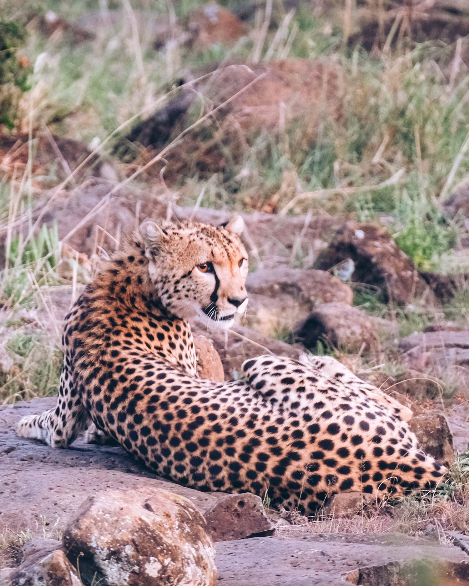 animal cheetah wilderness