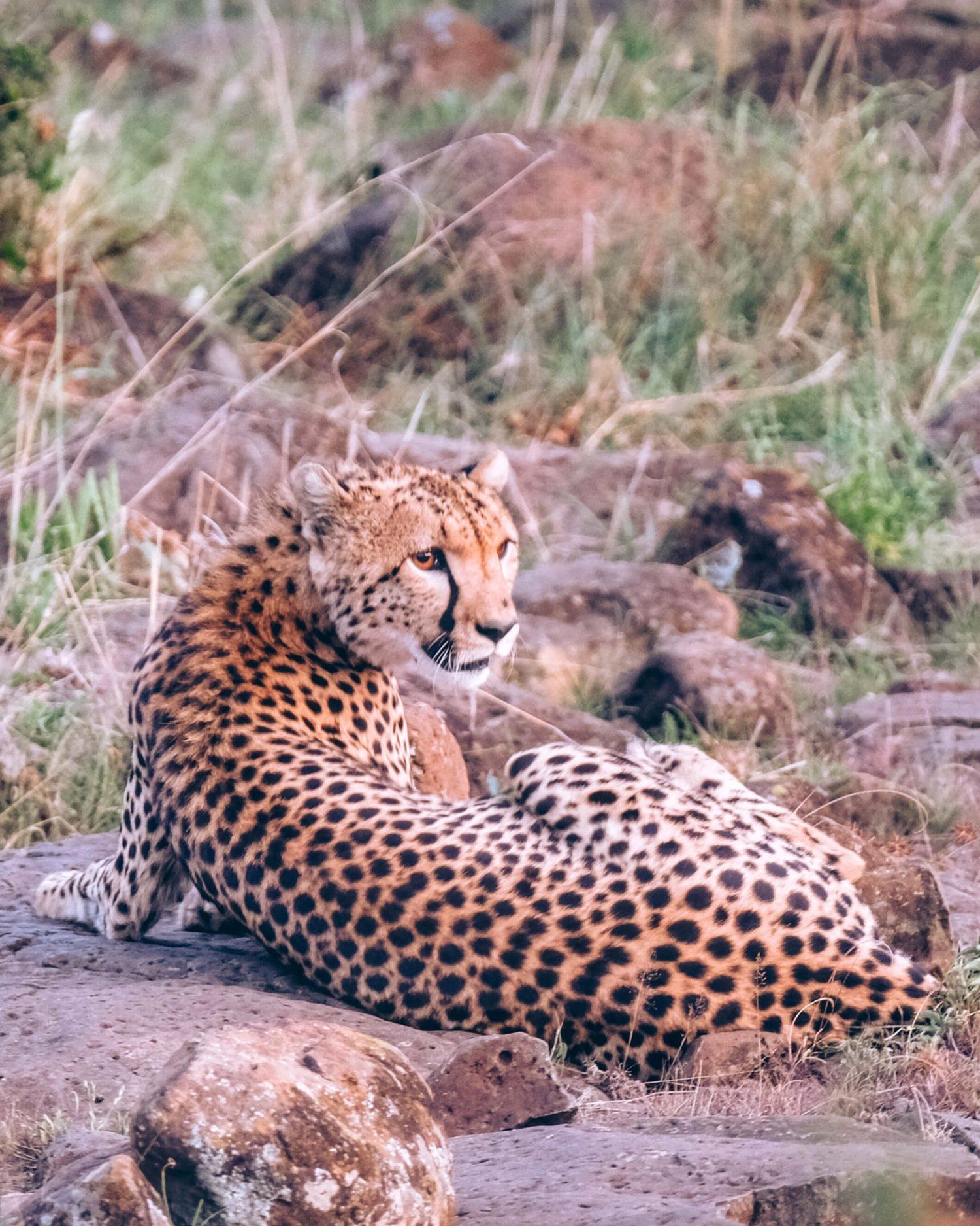 cheetah-in-kenya-e1554382062267 ▷ Los mejores destinos de vida silvestre en el mundo