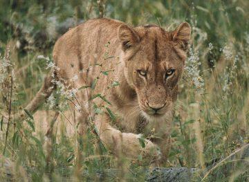 lioness walking through the grass