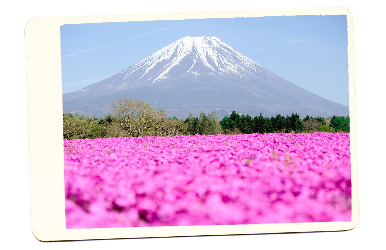 pink flowers mt fuji japan