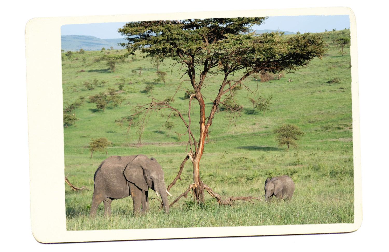 elephants in africa safari