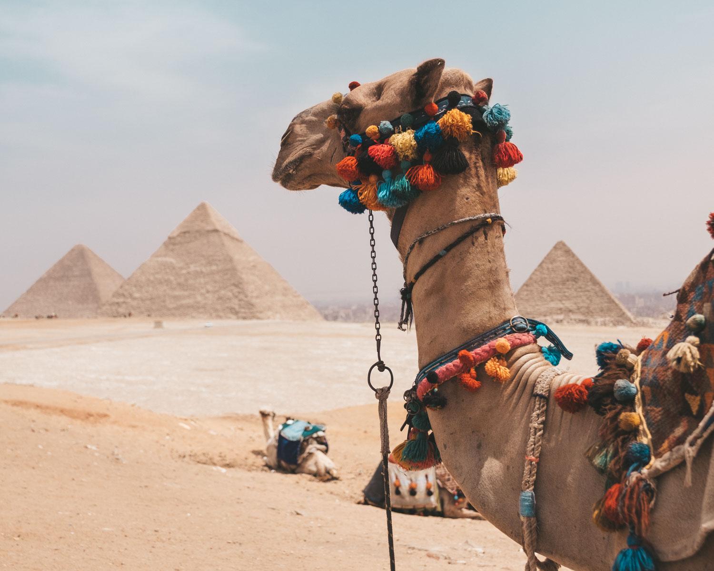 camel pyramids of giza