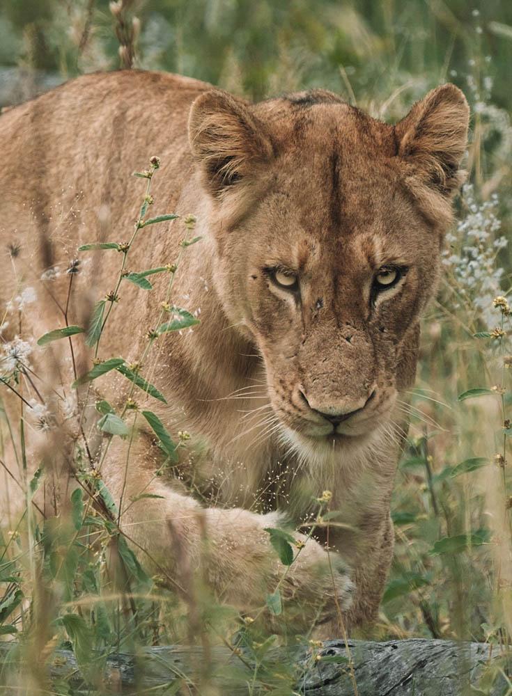 cheetahplains 16