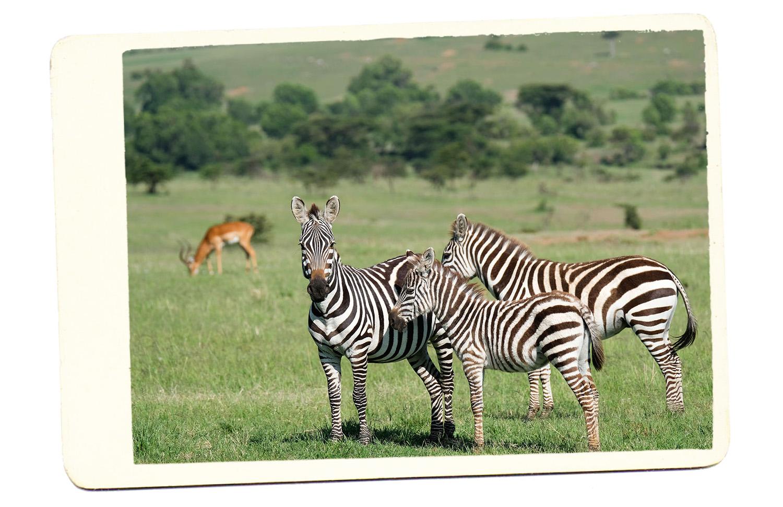 zebras safari