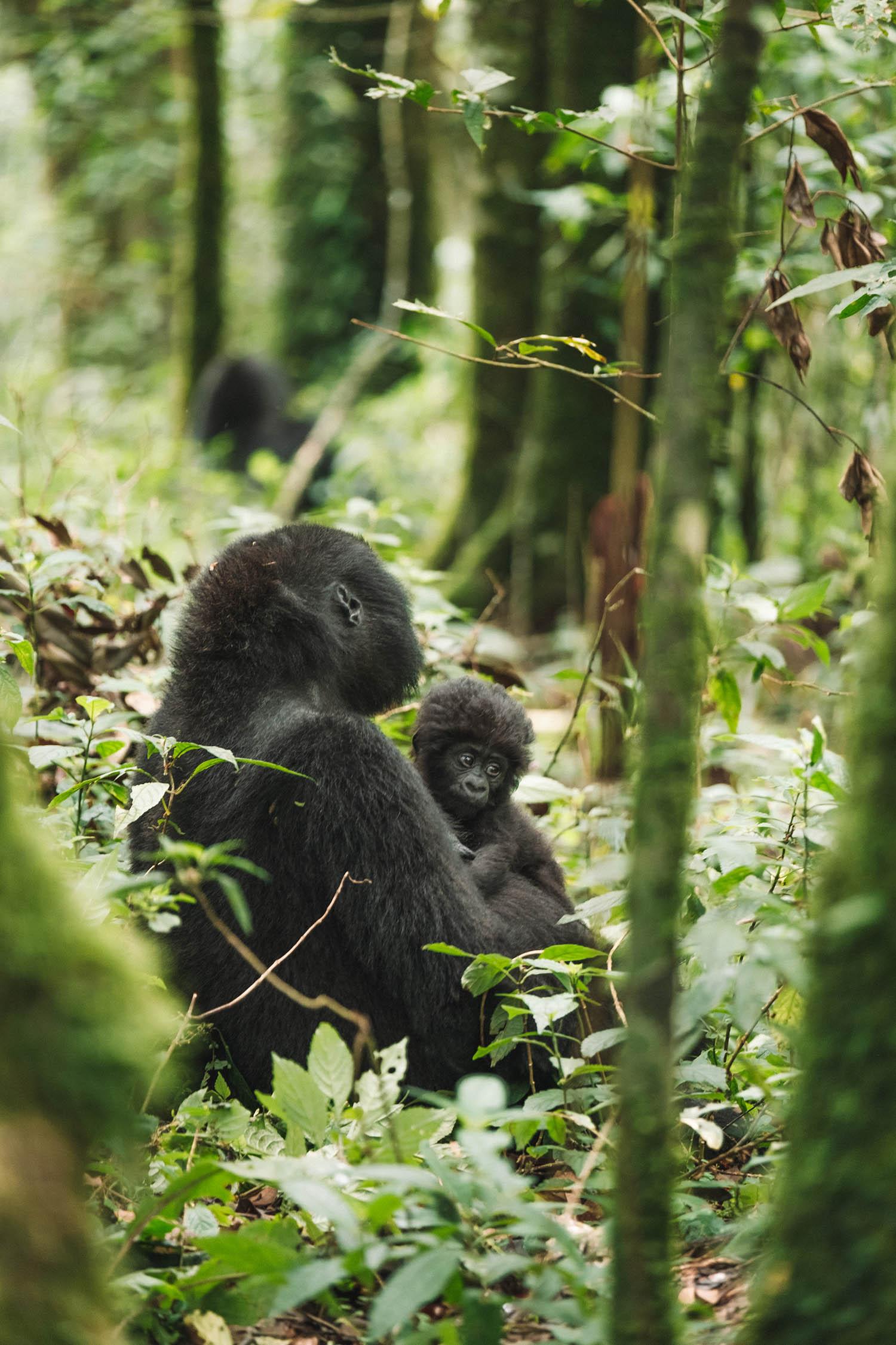 gorilla trekking uganda