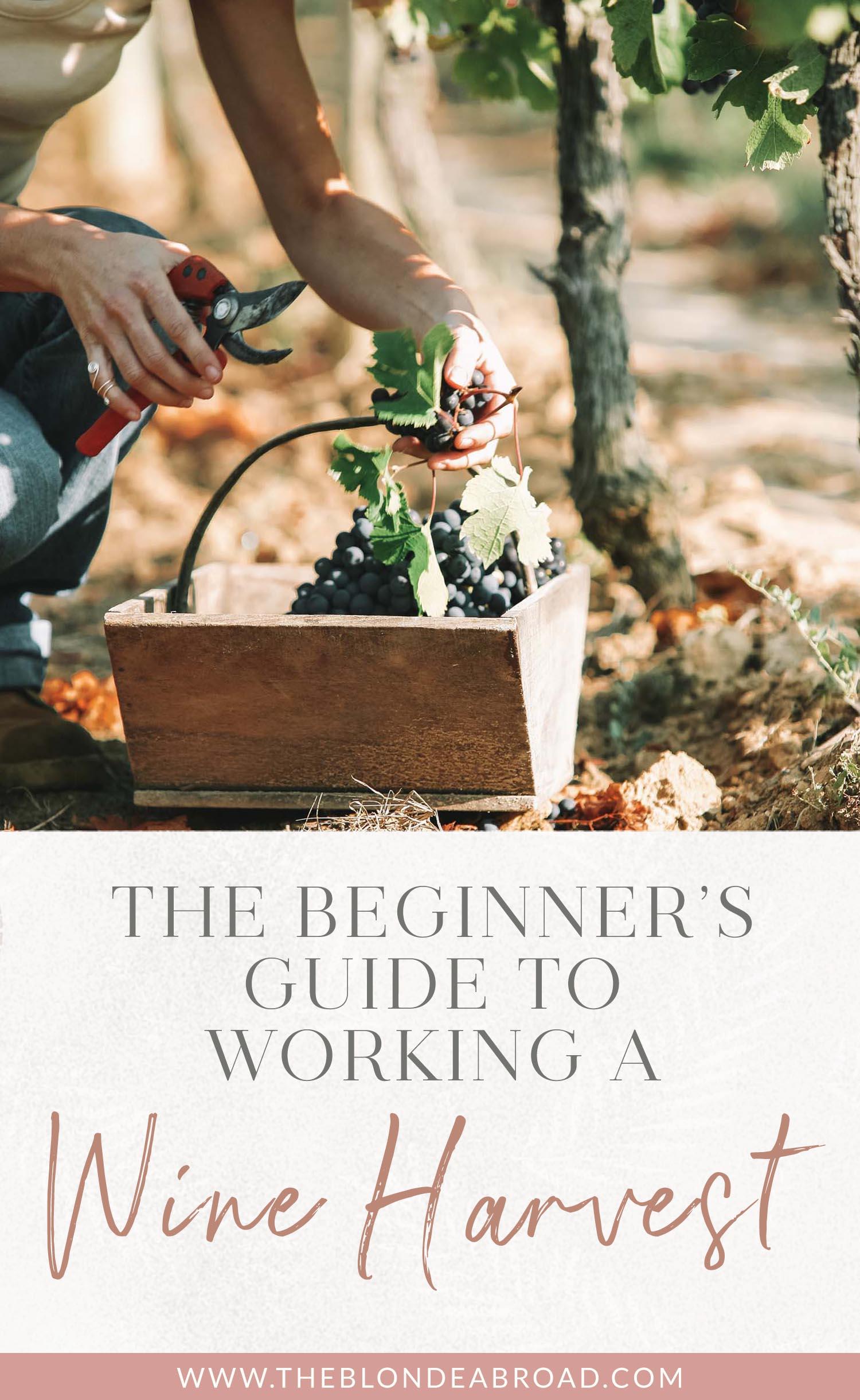 Guide du débutant Working Wine Harvest