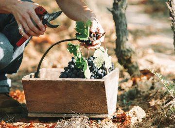 Beginner's Guide Working Wine Harvest