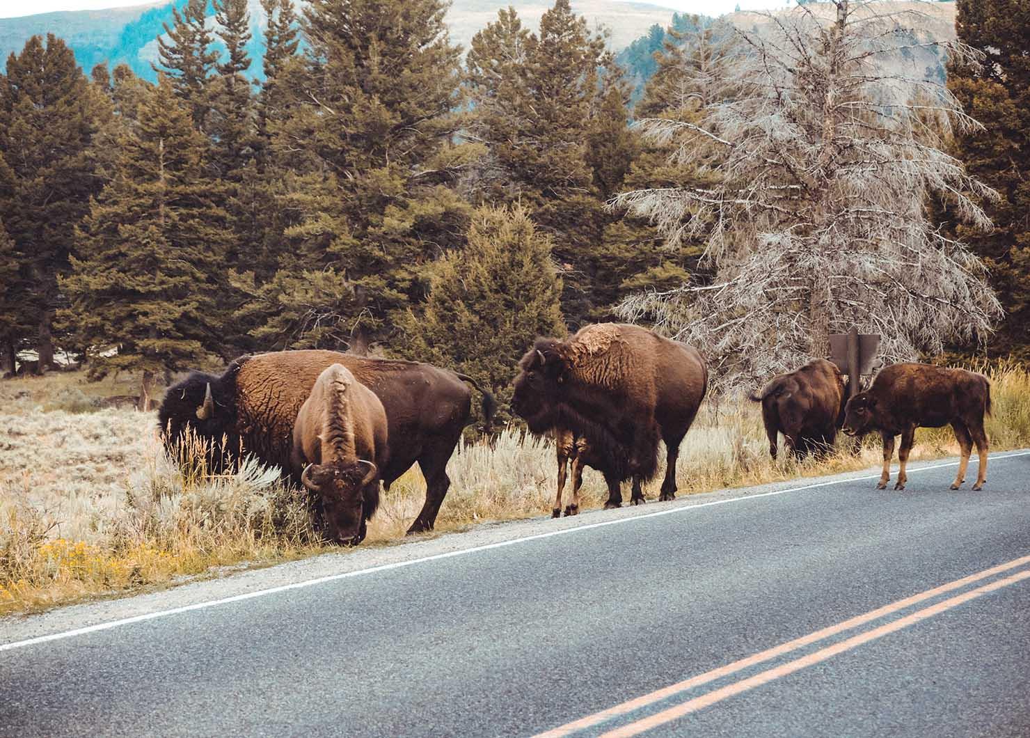 bison filler photo