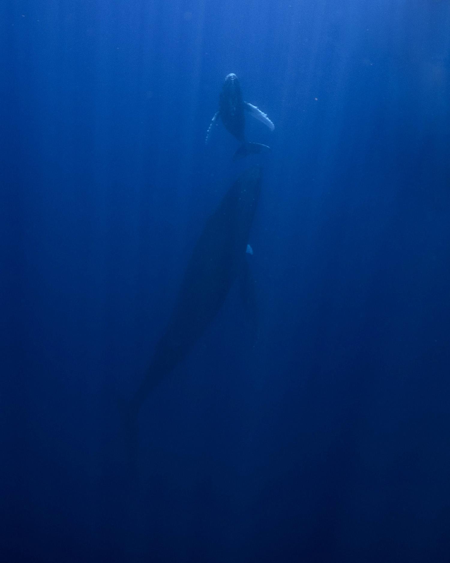 humpback whales moorea